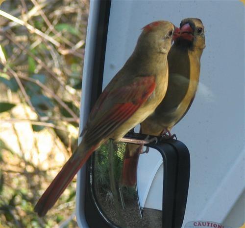 Cardinal Mirror
