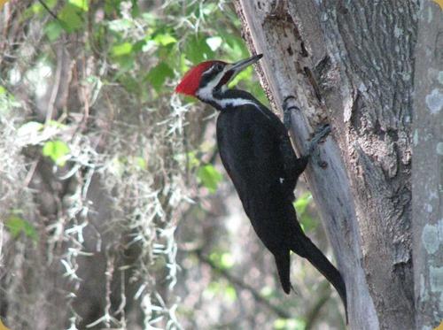Piliated Woodpecker