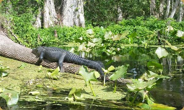 AlligatorSilverSprg