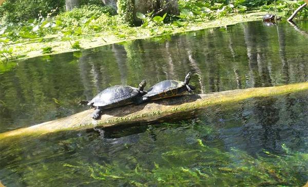 TurtlesSilvSprg