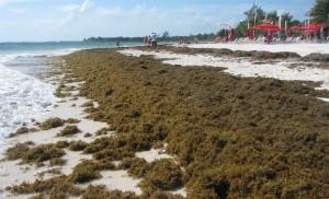 Seaweed_Xpu-Ha1