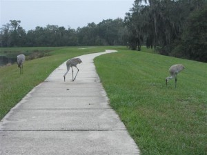 Fish Hawk Sandhill Cranes