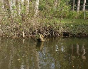 Hickey Creek Turtle
