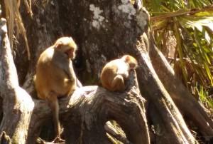 Monkeys at Siver River