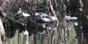 Ibis Flock Withlacoochee