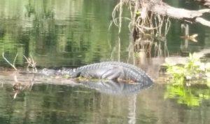 Rock Creek Gator