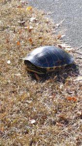 Turtle by Bike Path