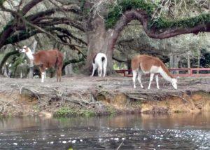 Llamas on Telegraph Creek