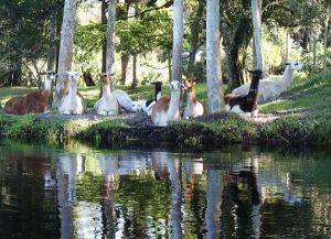 telegraph creek llamas